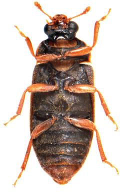 Byturus tomentosus