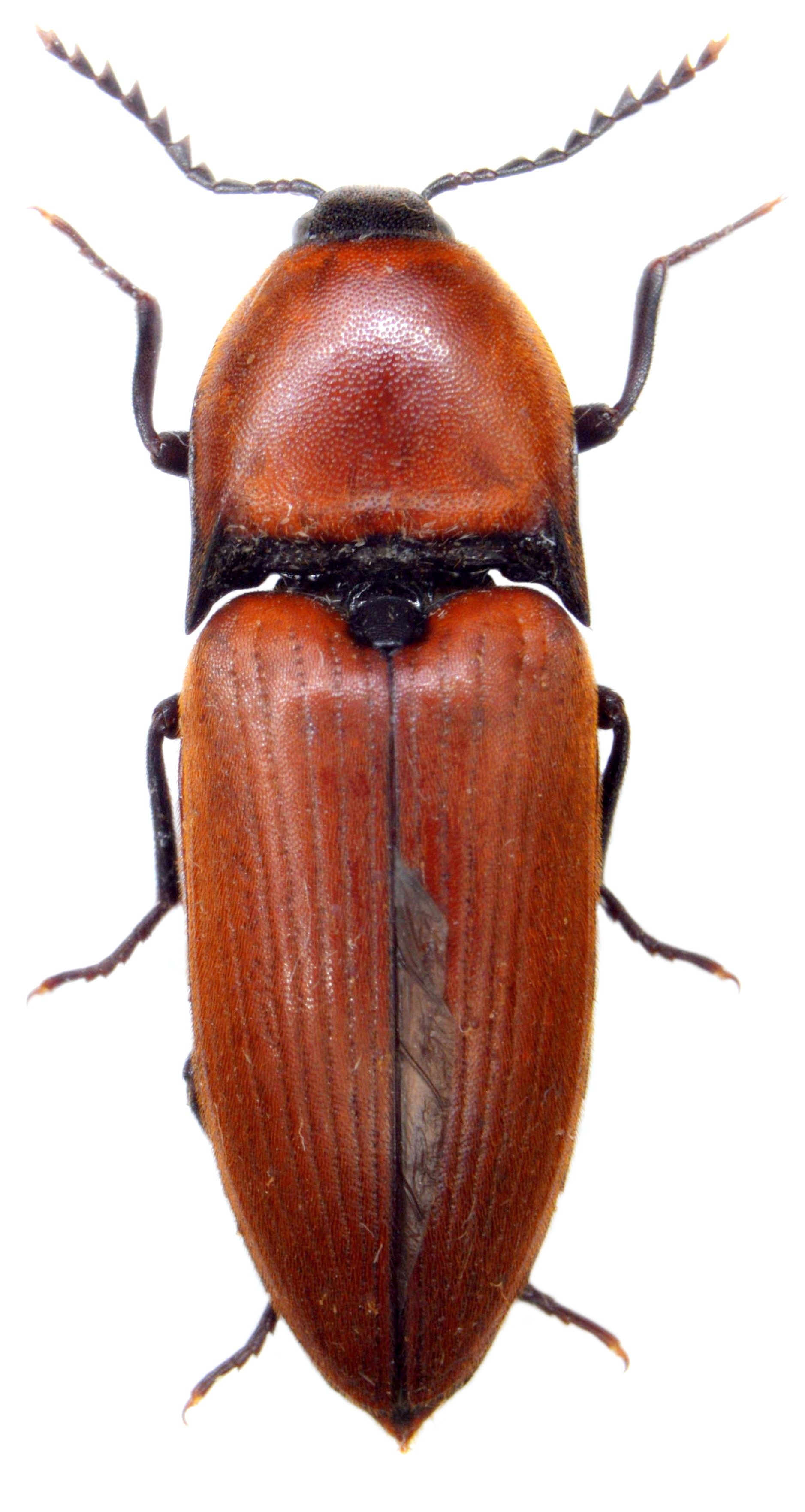 Elater ferrugineus 2
