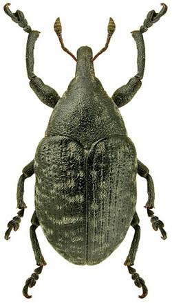 Larinus turbinatus 2