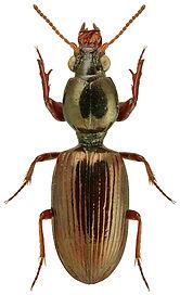 Dyschirius impunctipennis.jpg