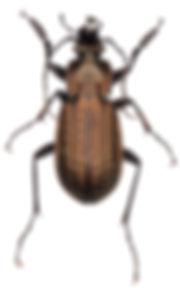 Carabus granulatus 1.jpg