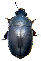Xerogethes rotundicollis 1.jpg