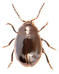 Hermaeophaga mercurialis.jpg