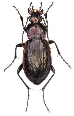 Carabus arvensis ♀