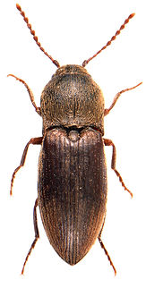Agriotes obscurus 1.jpg
