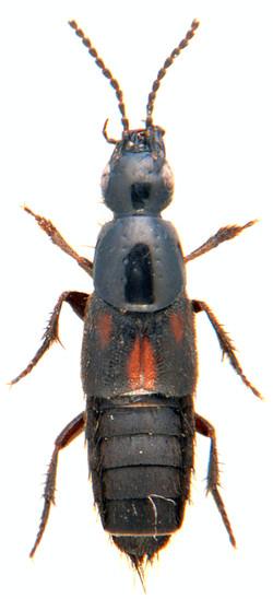 Philonthus sanguinolentus 2