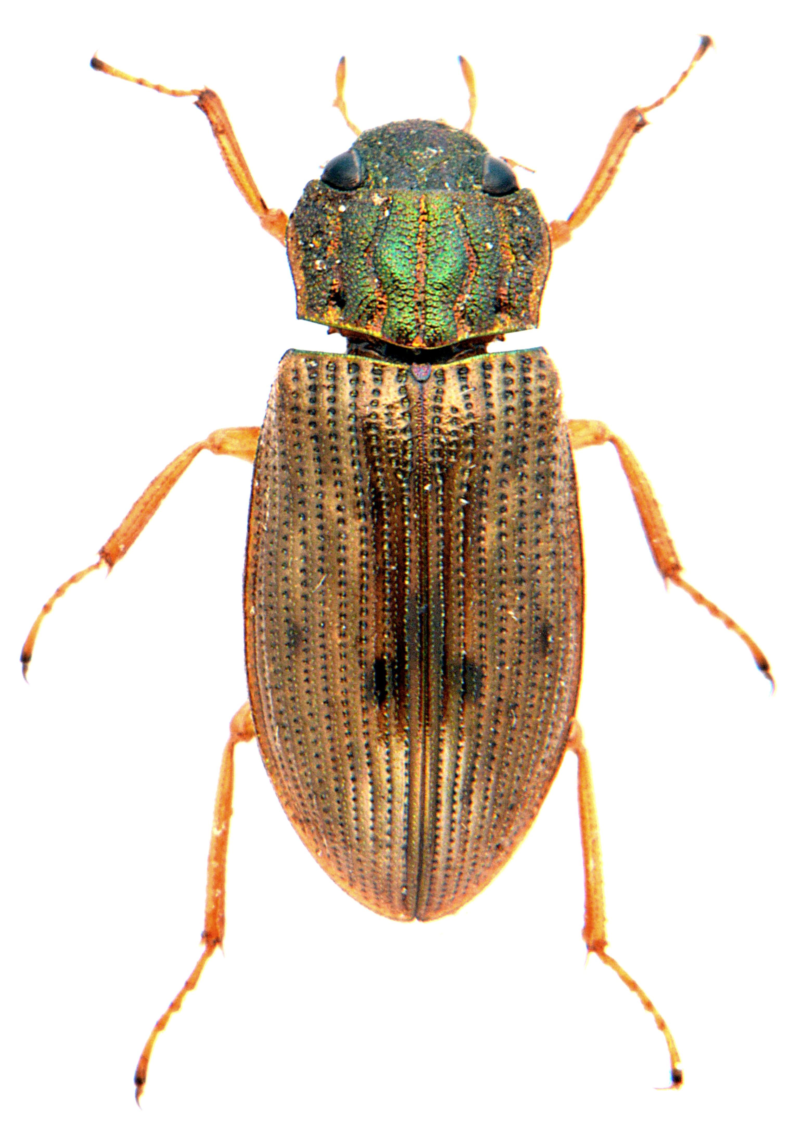Helophorus grandis 2