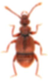 Trichonyx sulcicollis 1.jpg