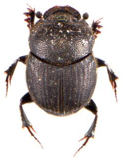 Onthophagus joannae 2