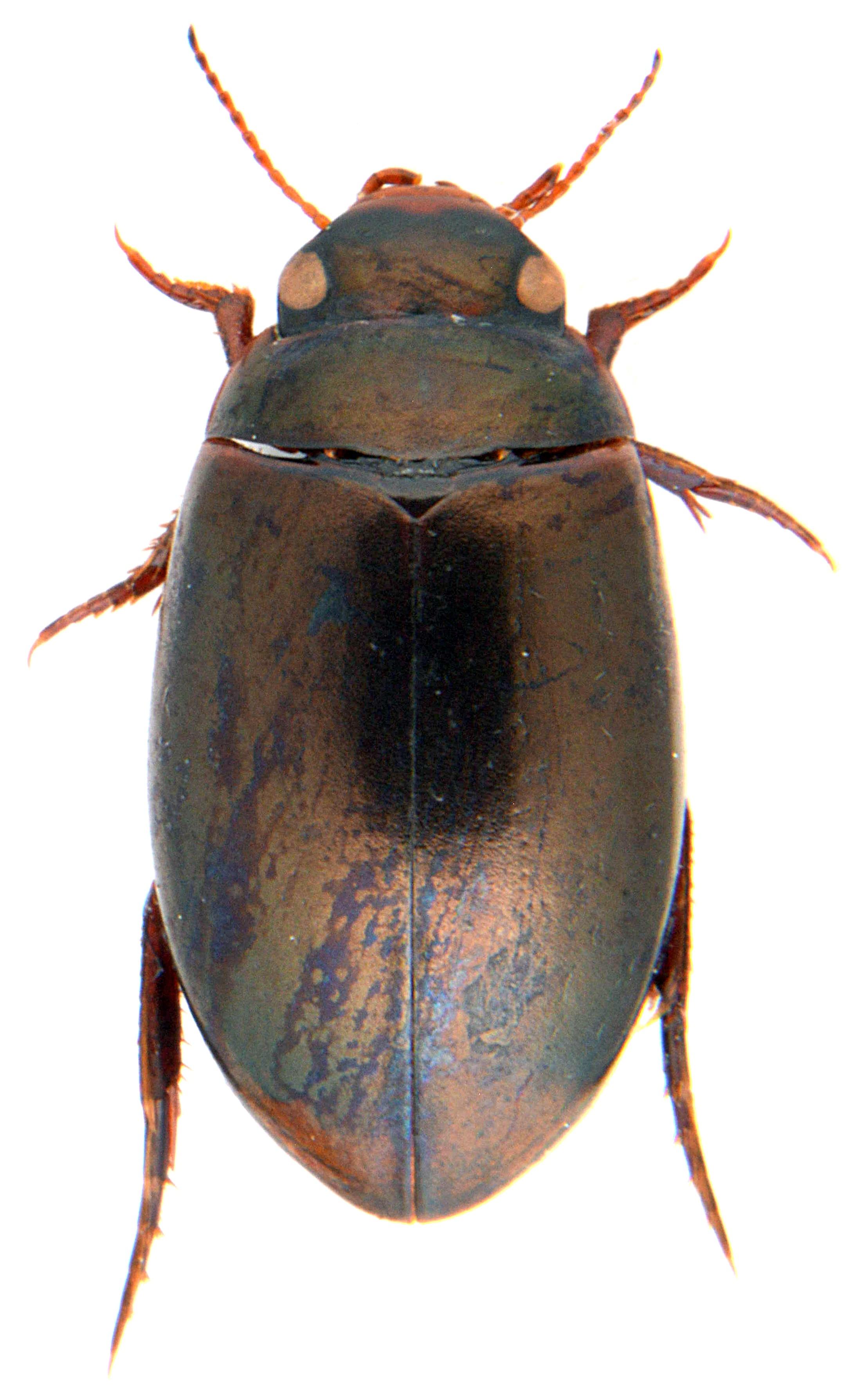 Ilybius montanus 2