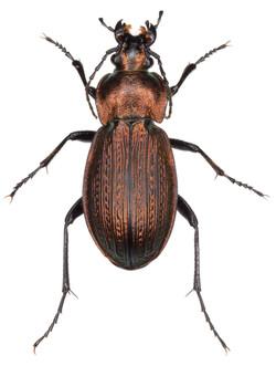 Carabus monilis ♀