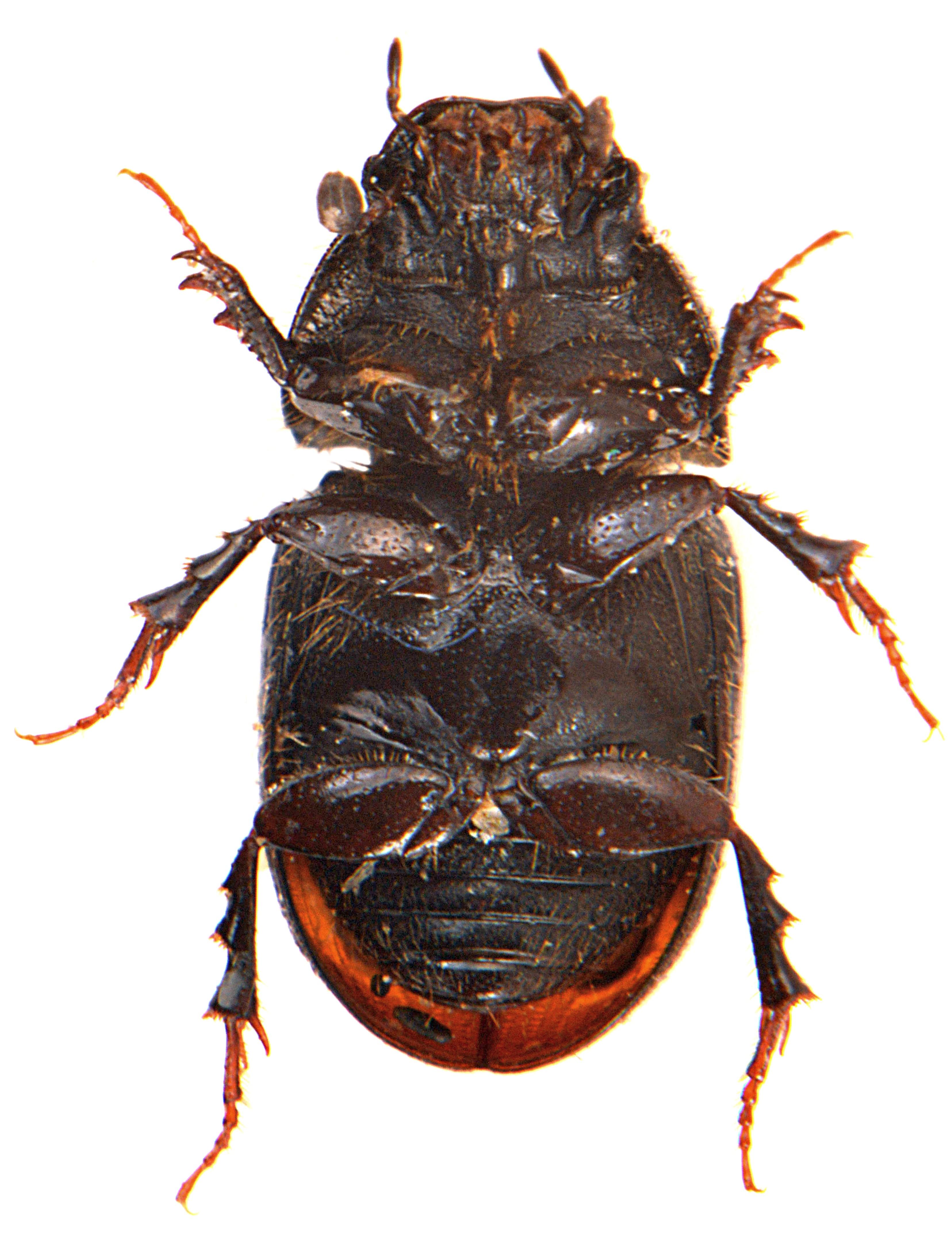 Otophorus haemorrhoidalis 3