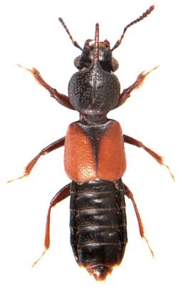 Bledius spectabilis 1
