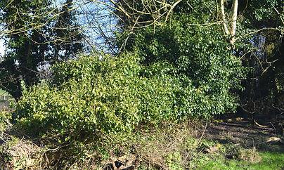 Common ivy.jpg