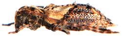 Pogonocherus hispidus 4