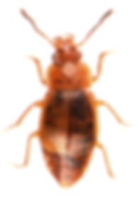 Anthobium unicolor 1.jpg