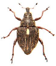 Rhinoncus pericarpius 4.jpg