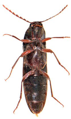 Melanotus villosus 3