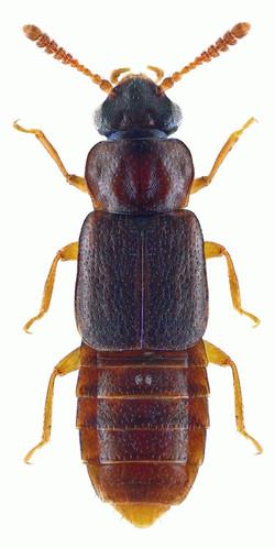 Phloeonomus punctipennis 1