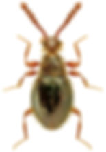 Euconnus pragensis.jpg