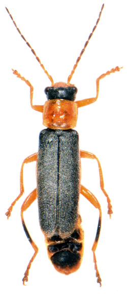 Cantharis lateralis 2