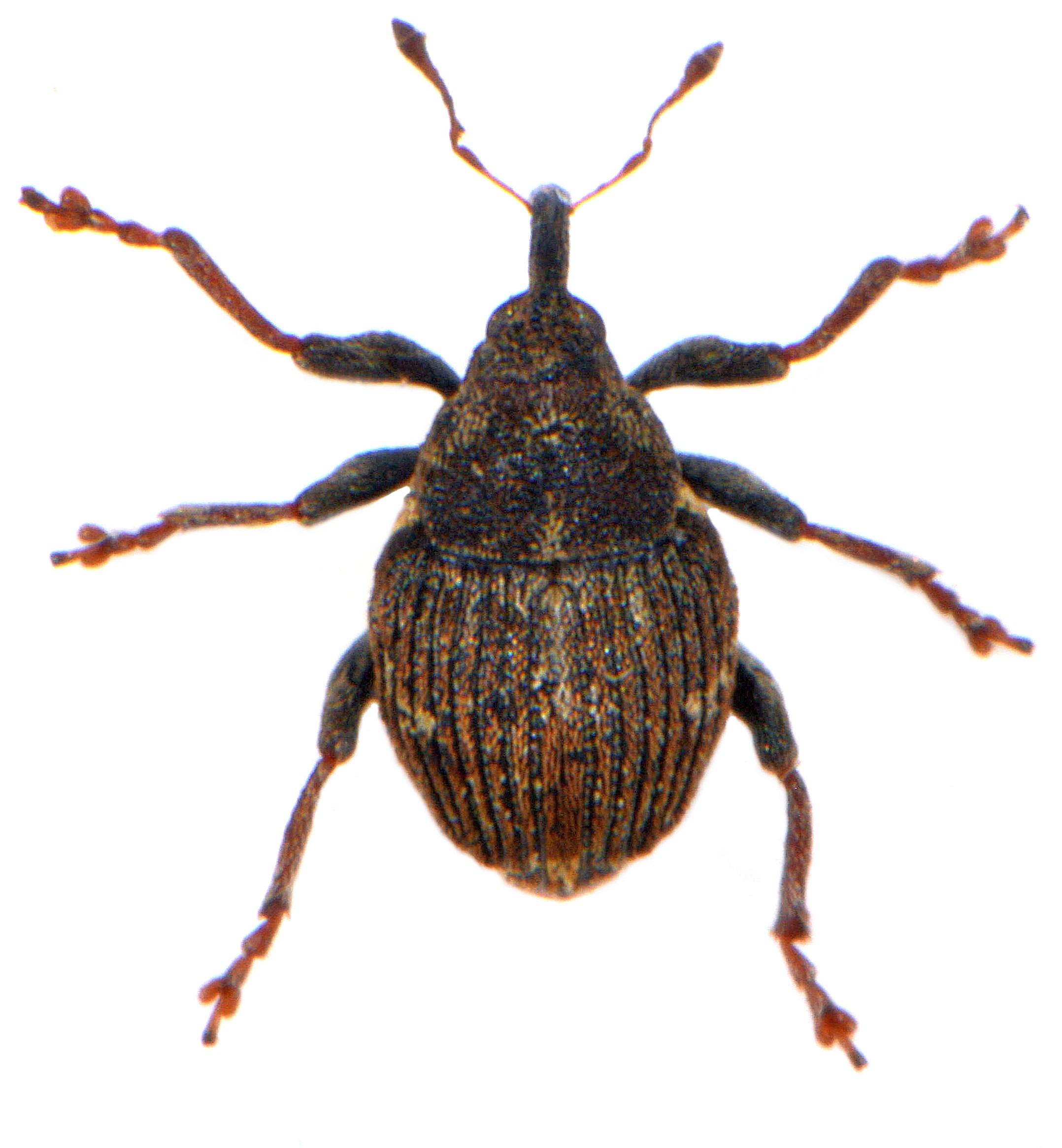 Nedyus quadrimaculatus