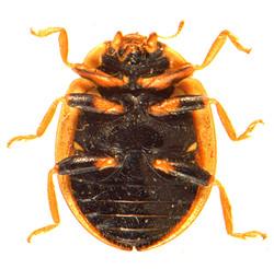 Propylea quatuordecimpunctata 5