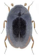 Orphinus fulvipes.jpg