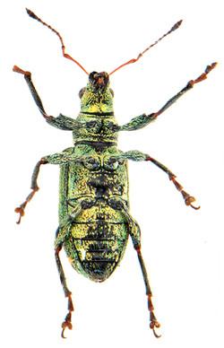 Polydrusus cervinus 3