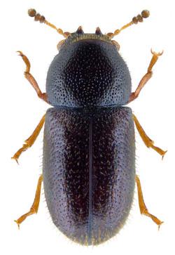 Sulcacis nitidus 2