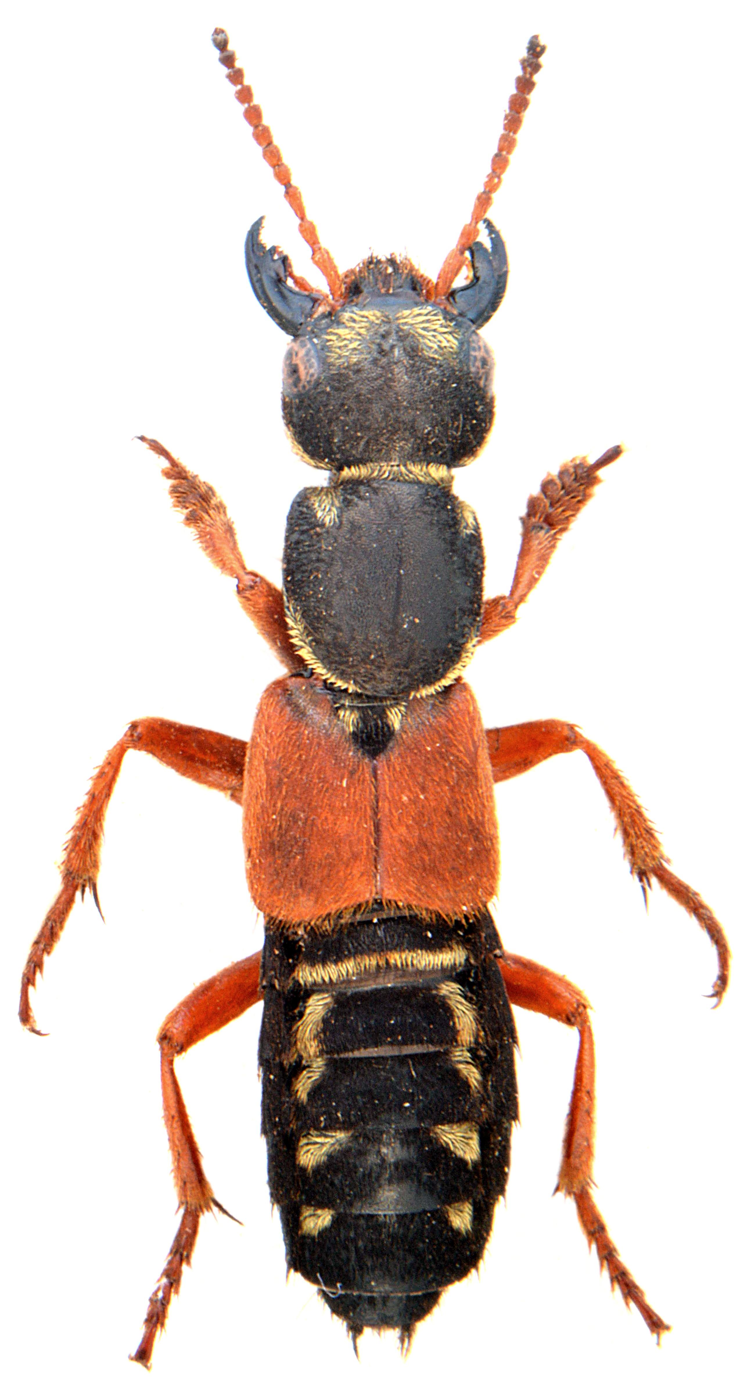 Staphylinus caesareus 2