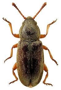 Telmatophilus caricis 1lb.jpg