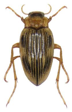Brychius elevatus 2