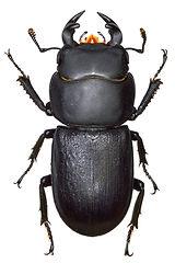 Dorcus parallelopipedus 3.jpg