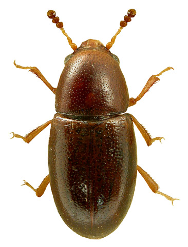 Octotemnus glabriculus 1