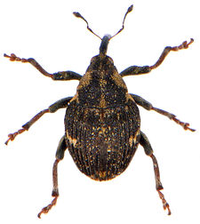 Nedyus quadrimaculatus 2.jpg