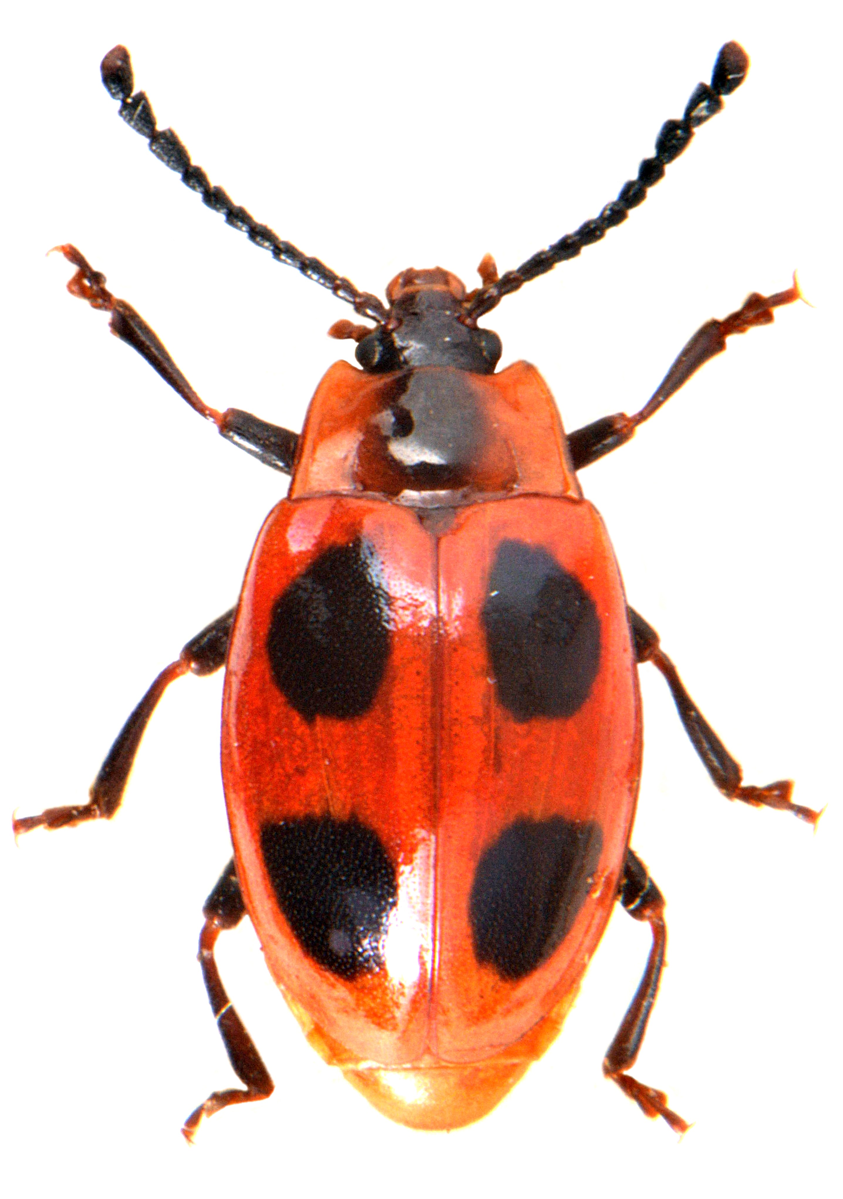 Endomychus coccineus 4