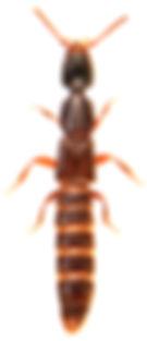 Gyrohypnus angustatus.jpg