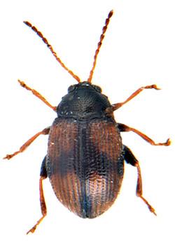 Epitrix atropae 1