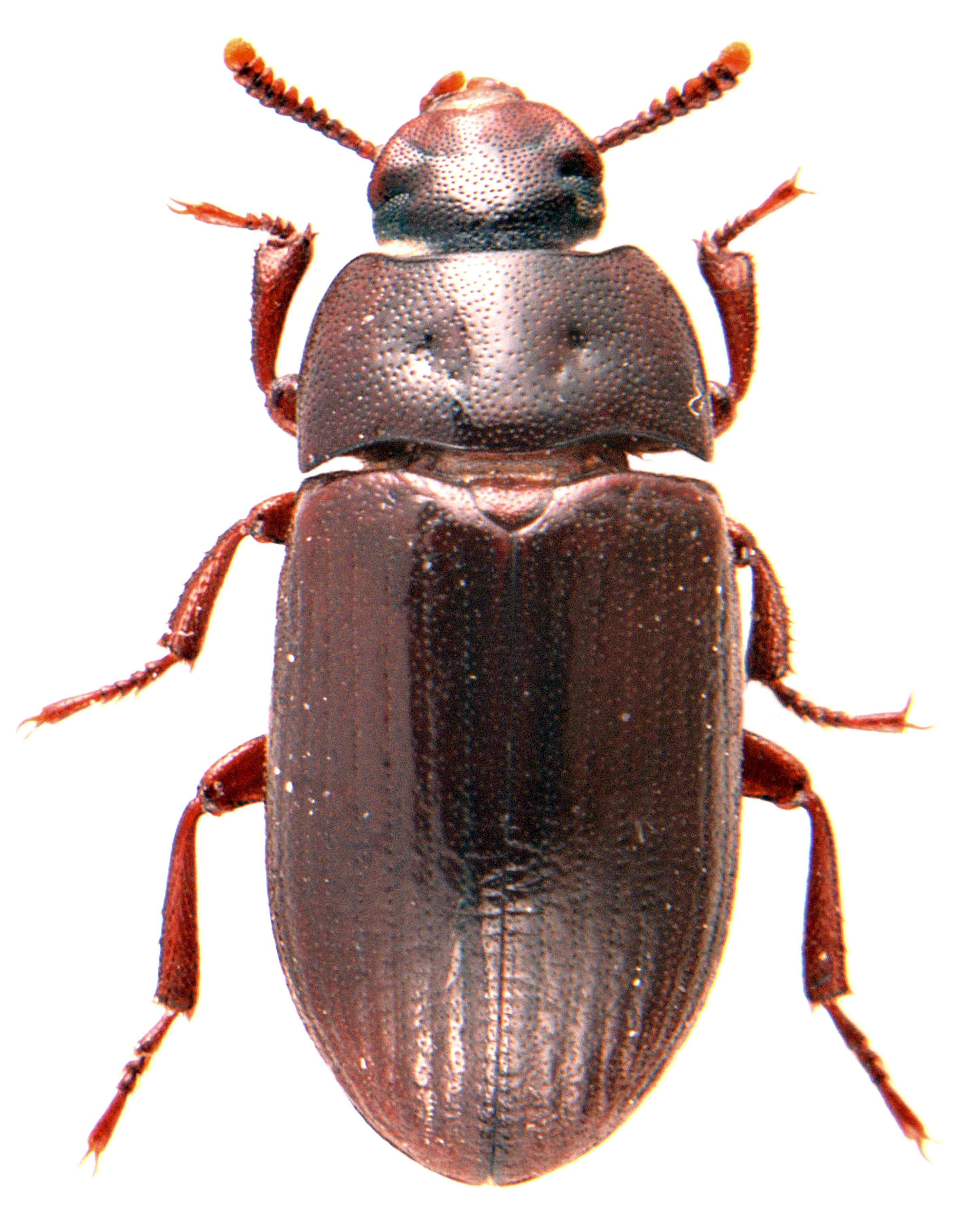 Alphitobius diaperinus 1