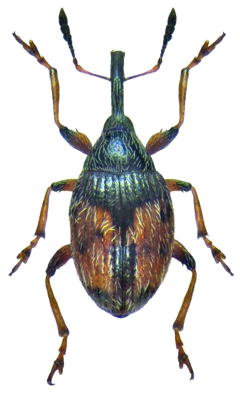 Dieckmanniellus gracilis 2