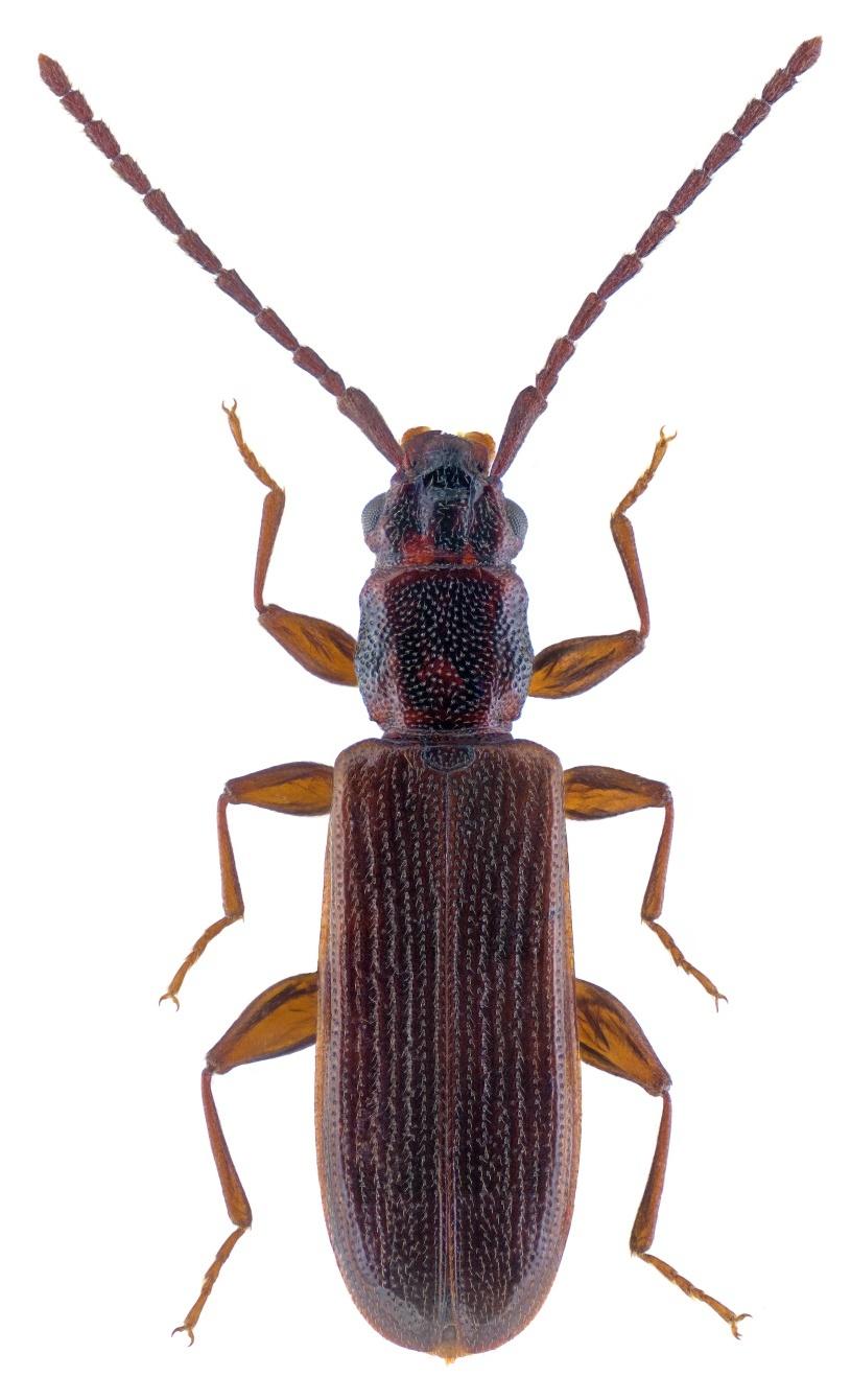 Dendrophagus crenatus 2