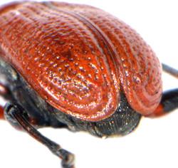 Apoderus coryli 6
