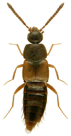 Nehemitropia lividipennis 2