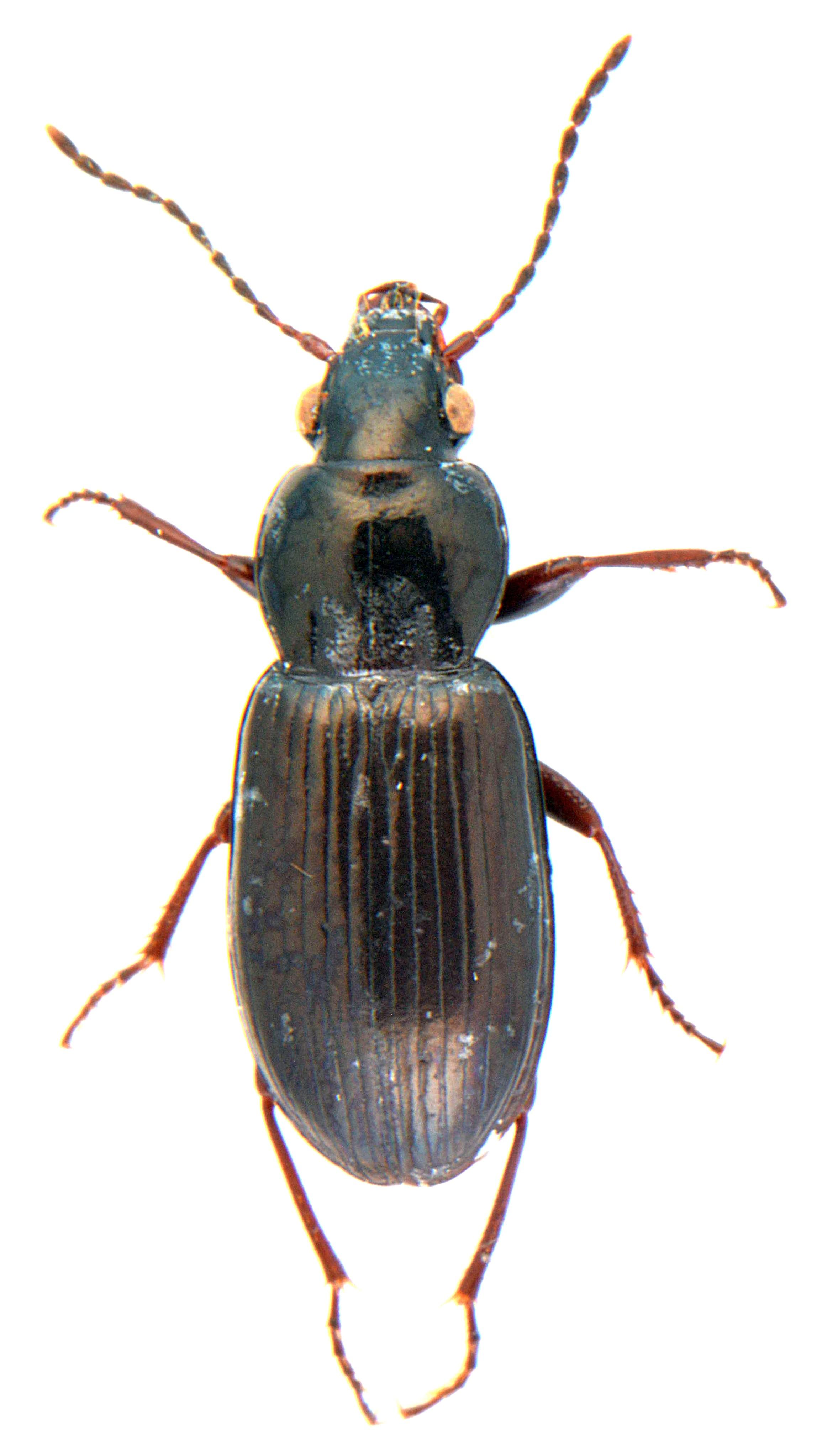 Pterostichus diligens 3