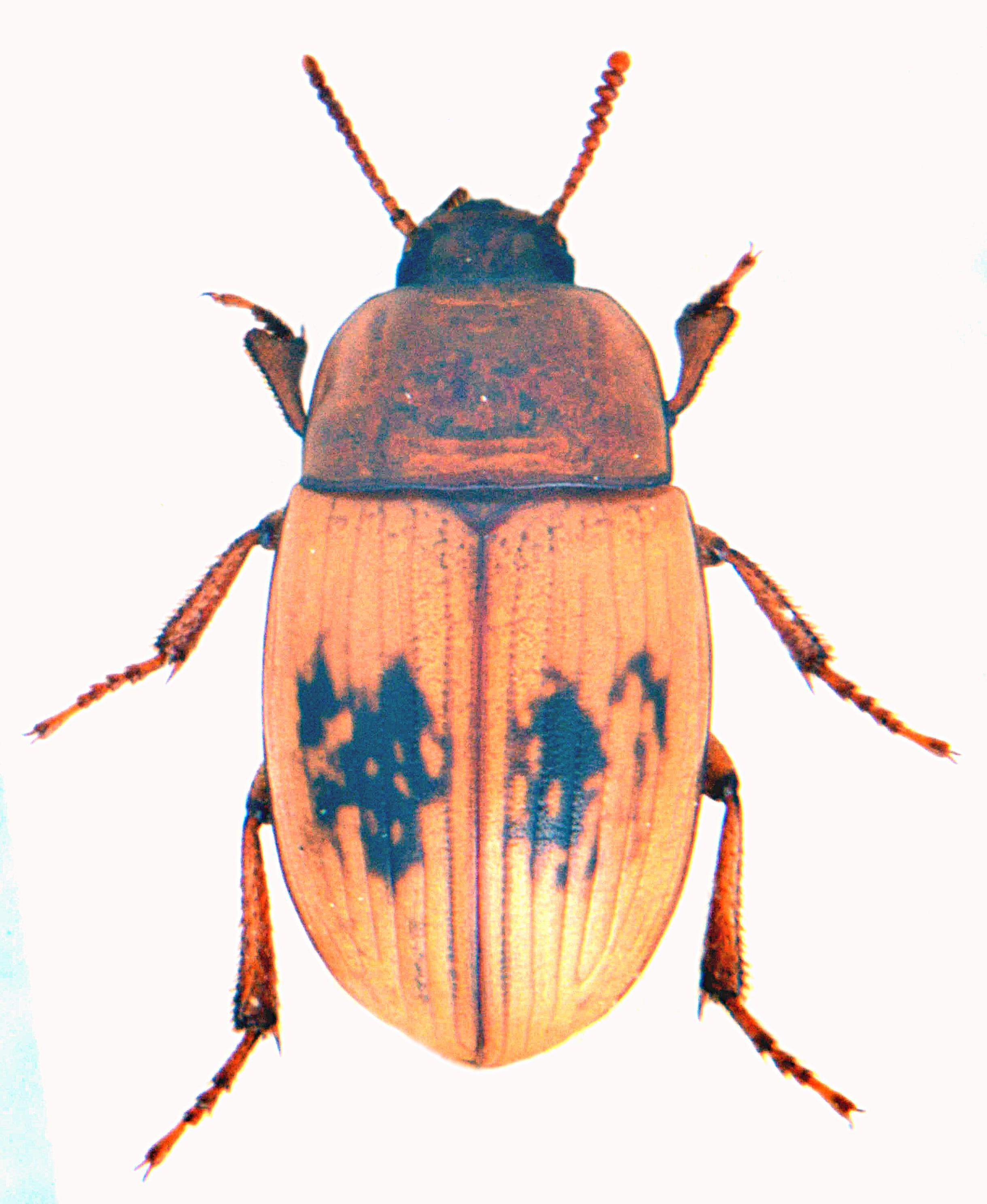 Phaleria cadaverina 4