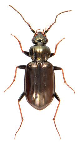Loricera pilicornis 1