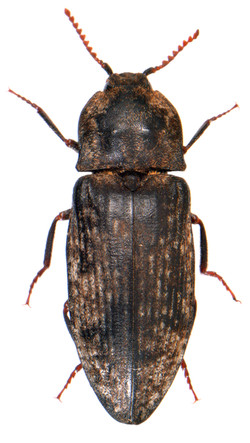 Agrypnus murinus 2