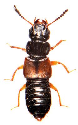 Oxytelus laqueatus