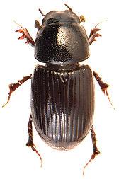 Euorodalus coenosus 1.jpg